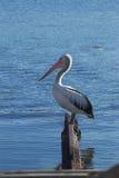 australiensisk pelikan Royaltyfria Foton