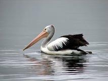 australiensisk pelikan Royaltyfria Bilder