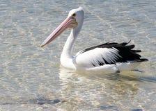 australiensisk pelikan Royaltyfri Fotografi