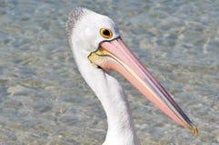 australiensisk pelikan Royaltyfri Foto
