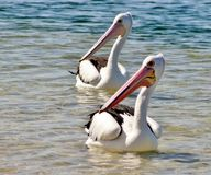 australiensisk pelikan Arkivbild