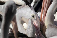 australiensisk pelikan Arkivbilder