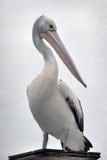 australiensisk pelikanstående Royaltyfri Fotografi