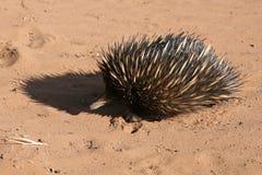australiensisk porcupine Arkivfoton