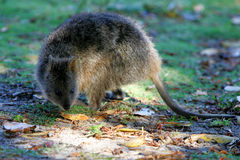 australiensisk quokka Arkivbilder
