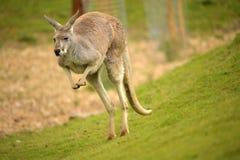 Australiensisk röd känguru Arkivfoton