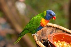 Australiensisk regnbågelorikeet som äter frukter Royaltyfri Fotografi