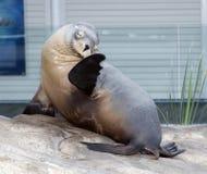 australiensisk sealion fotografering för bildbyråer