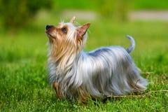 australiensisk silkeslen terrier arkivbild