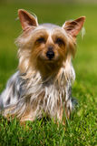 australiensisk silkeslen terrier royaltyfria bilder