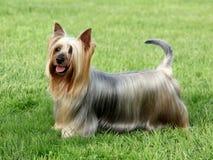 Australiensisk silkeslen Terrier Fotografering för Bildbyråer