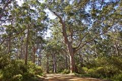 australiensisk skog Fotografering för Bildbyråer