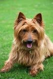 australiensisk terrier Fotografering för Bildbyråer