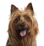 Australiensisk Terrier, 8 gammala år Arkivbild