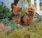 australiensisk terrier royaltyfri bild