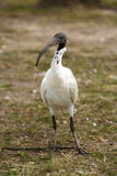 Australiensisk vit Ibis Royaltyfri Foto