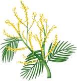 australiensisk wattle Royaltyfria Foton