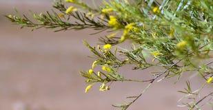 australiensisk wattle arkivbild