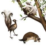 Australiensiska djur: koala, näbbdjur och lyrebird. Arkivbild