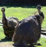 australiensiska emus Royaltyfria Foton