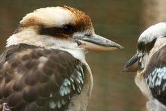 australiensiska kookaburrapar Arkivfoton
