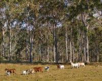 Australiensiska lantliga platseukalyptusträd och kor Arkivfoton