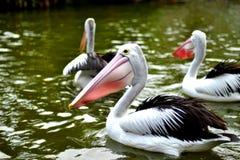 australiensiska pelikan Royaltyfria Foton