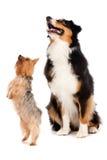 Australiensiska Shepard och silkeslen Terrier Royaltyfri Foto