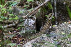 australiensiskt drakevatten Royaltyfri Foto