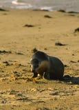 australiensiskt lionhav Royaltyfri Fotografi