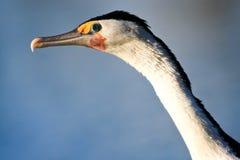 australiensiskt skjutit pied för cormoranthuvud Arkivfoto