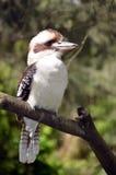 australiensiskt skratta för kookaburra royaltyfri foto