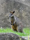 australiensiskt swampvallabydjurliv Arkivbilder