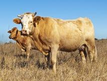 australiensiskt torrt nötköttnötkreatur betar vinter Fotografering för Bildbyråer