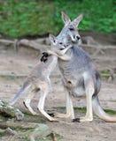 australier behandla som ett barn den gråa känguruunge kängurun för omfamningar Royaltyfri Foto