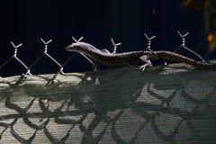 Australier beschmutzter Baum-Monitor Stockbild