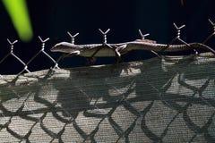 Australier beschmutzter Baum-Monitor Stockfotografie