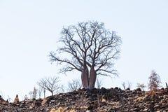 Australier Boab-Baum Stockfotografie