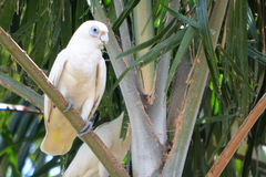 Australier-Corella-Papagei Stockfotografie