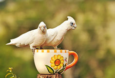 Australier Kort-fakturerade vita Corella Cockatoos Arkivbild