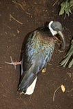 Australier Straw Necked Ibis Arkivfoto