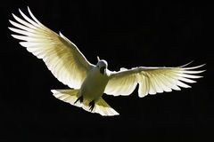 Australier sulphur-krönad kakadua i flykten Royaltyfri Foto