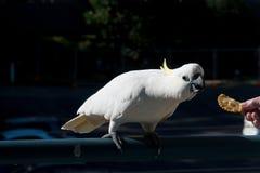 Australier Sulphur-krönad kakadua som matas en smällare Cacatu Royaltyfria Foton