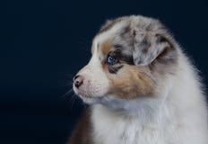 AustralierSheperd hund Royaltyfri Bild