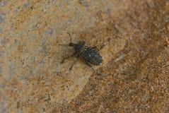Australierskalbaggen på sandsten vaggar, Johanna Beach Arkivfoton