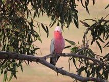 Australijczyk Galah w gumowym drzewie Zdjęcia Stock