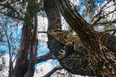 Australijczyk koronki monitoru lub koronki goanna Varanus varius, wspina się drzewa, Queensland tropikalny las deszczowy Australi obraz stock