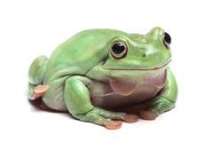 Australijczyk Zielona Drzewna żaba (Litoria caerulea) zdjęcia stock