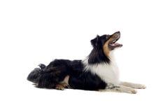 australijczyka psa baca Zdjęcia Stock