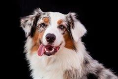 Australijczyka psi portret fotografia royalty free